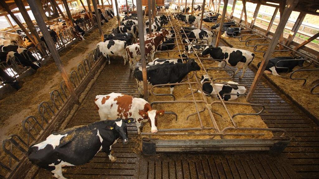 Tierschützer kritisieren ganzjährige Stallhaltung.