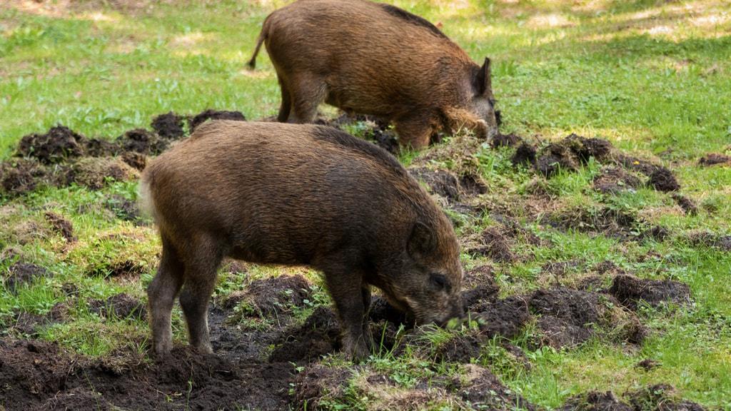 Wildschweine als ASP-Reservoir